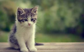museruola, bokeh, gattino, visualizzare