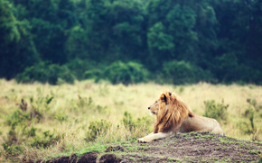 leone, animale, re di bestie, GRIVA