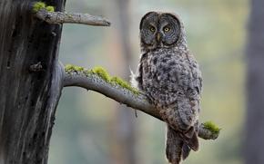 bird, bough, moss, Grey Owl, owl, tree