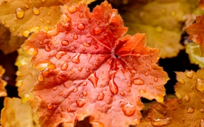оранжевые, желтые, природа, осень, вода, капельки, капли, лист, листья