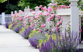 vară, Flori, roz, galben, gard, grădină, alb, Roses, frumos, parter, gard, albastru, SPRING