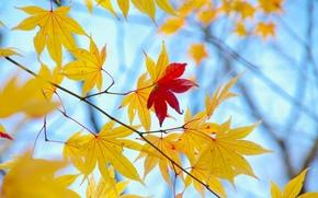 tree, Widescreen, background, foliage, fullscreen, autumn, yellow, Widescreen, leaves, wallpaper, red, Macro