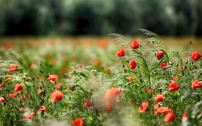 Papaveri, campo, erba
