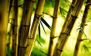 bamboo, grove, foliage
