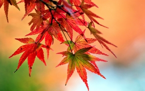 wallpaper, form, plant, background, tree, foliage, Widescreen, Macro, degradation, red, Widescreen, fullscreen, leaves