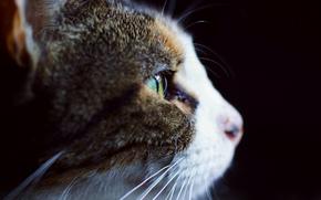 кошка, бело-серая, профиль, фон