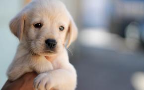 Snout, beast, Widescreen, puppy, dog, background, animal, hand, fullscreen, wallpaper, Widescreen