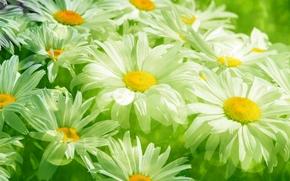 mancha, Manzanilla, verde, follaje, hierba, Blanco, Flores, PRIMAVERA, belleza, prado, Transparente, frescura