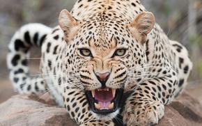 animales, gato, leopardo, hishniki