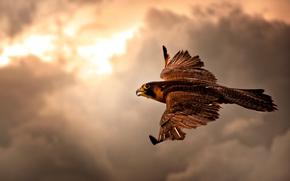 pájaros, pájaro, yastreb.sokol, animales, vuelo
