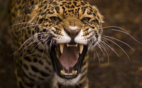 animales, koshka.hischniki, leopardo, gato