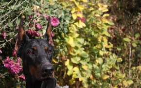 dog, Flowers, Shelby Cobra of Zoosfery, doberman