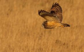 фон, крылья, полет, сова, птица