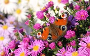 Macro, mariposa, tsvety.priroda.nasekomye, animales