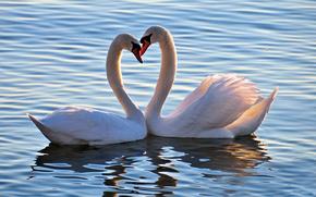 animales, pájaros, Cisnes, cisne, amor, sentimientos, humor, corazón