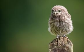 chick, owl, owlet, owl