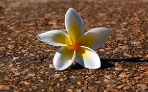 Kwiaty, kwiat, charakter, fauna, widok, Kapitałka, tapeta