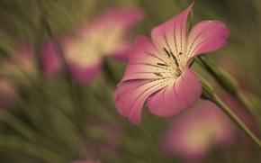 цветок, лепесток, обои, широкоэкранные, размытие, розовый, цветочек, широкоформатные, цветы, полноэкранные, фон, стебель