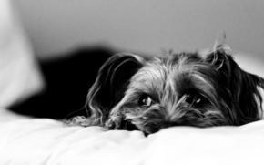 грусть, собака, постель