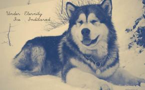 nieve, Malamute, Perro