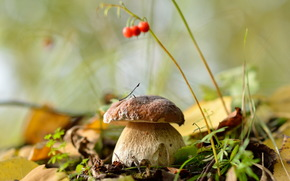 природа, листья, лес, белый гриб, осень, сентябрь, грибы