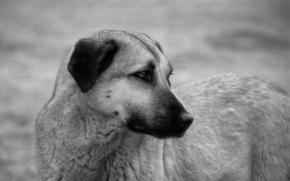 visualizzare, b \ w, cane, dolore, cane