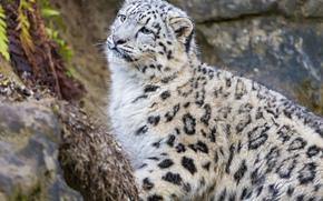 visualizzare, gattino, oncia, gatto, leopardo delle nevi