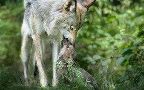 дикая природа, волчонок, волчица, забота