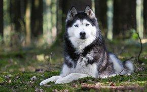 природа, животное, лапы, порода. взгляд, уши, хаски, собака