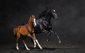 пара, жеребёнок, конь, лошадь, бег, пыль
