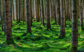 forest, moss, trees, coniferous, summer