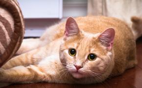 зеленые, окрас, глаза, кошка, рыжий, усы, кот