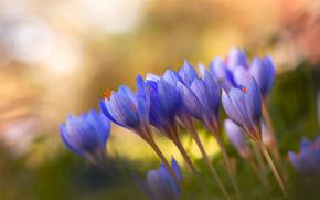 背景, 番红花, 紫丁香