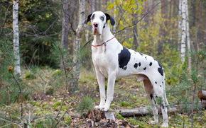 cane, amico, Great Dane arlecchino