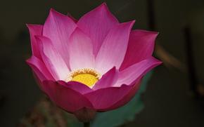 цветок, лотос, розовый, фон