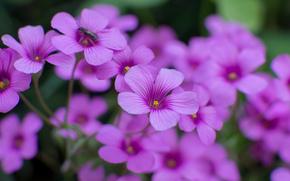 konzentrieren, Insekt, Macro, Sauerampfer, Blumen, Unschärfe, Flieder, Blütenblätter