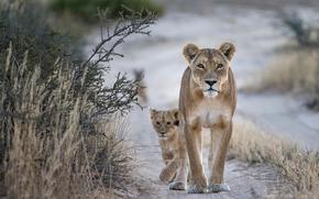 lionet, leonessa, natura