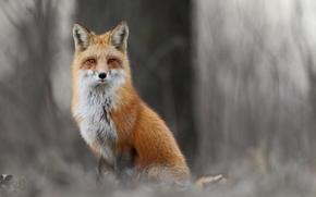 animali, foresta, fox, fox, inverno, erba