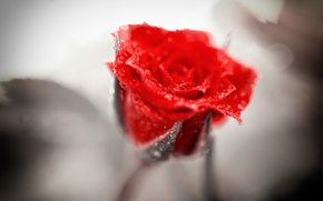 red, drops, rose
