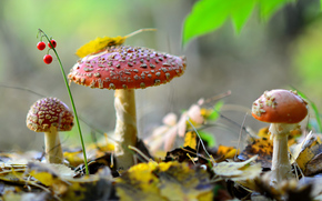 trio, foliage, BERRY, nature, autumn, forest, lily of the valley, mushrooms, amanita