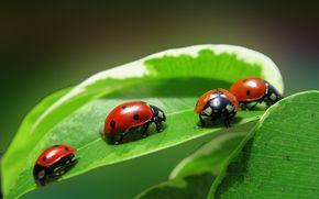 four, foliage, quartet, ladybug, Insects, plant