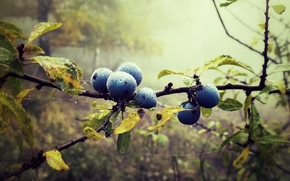 foliage, drops, blueberries, nature, blueberry, forest, BERRY, web, fog, branch