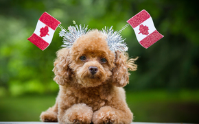 dog, Canada, flags, view