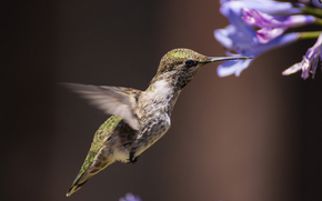 Flowers, birdie, colibri, background, bird