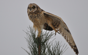 stretches, Needles, needles, owl, pine, tree, bird, wing, top