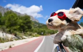 дорога, ветер, собака, тёмные очки, машина