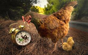 alarm clock, chickens, chicken