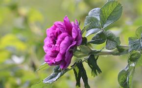 розовый, листья, фон, цветок