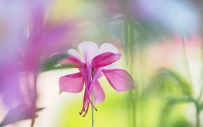 бело-розовый, цветок, аквилегия, размытость, блики