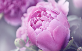 цветы, пионы, розовый, лето